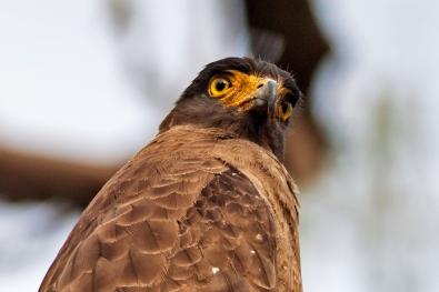 Glowing eyes of Crested Hawk Eagle