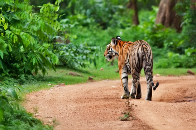 Tigress on the move...everyone hides!