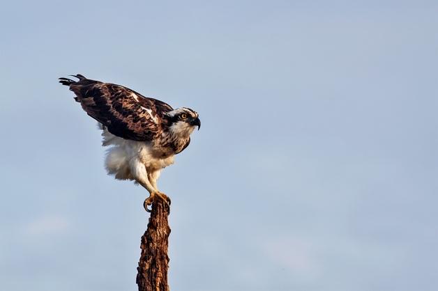 Osprey gets ready to fly!