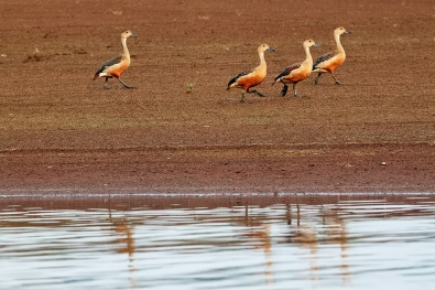 Parade of the Whistling Ducks