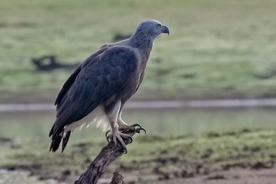 Grey Headed Fishing Eagle